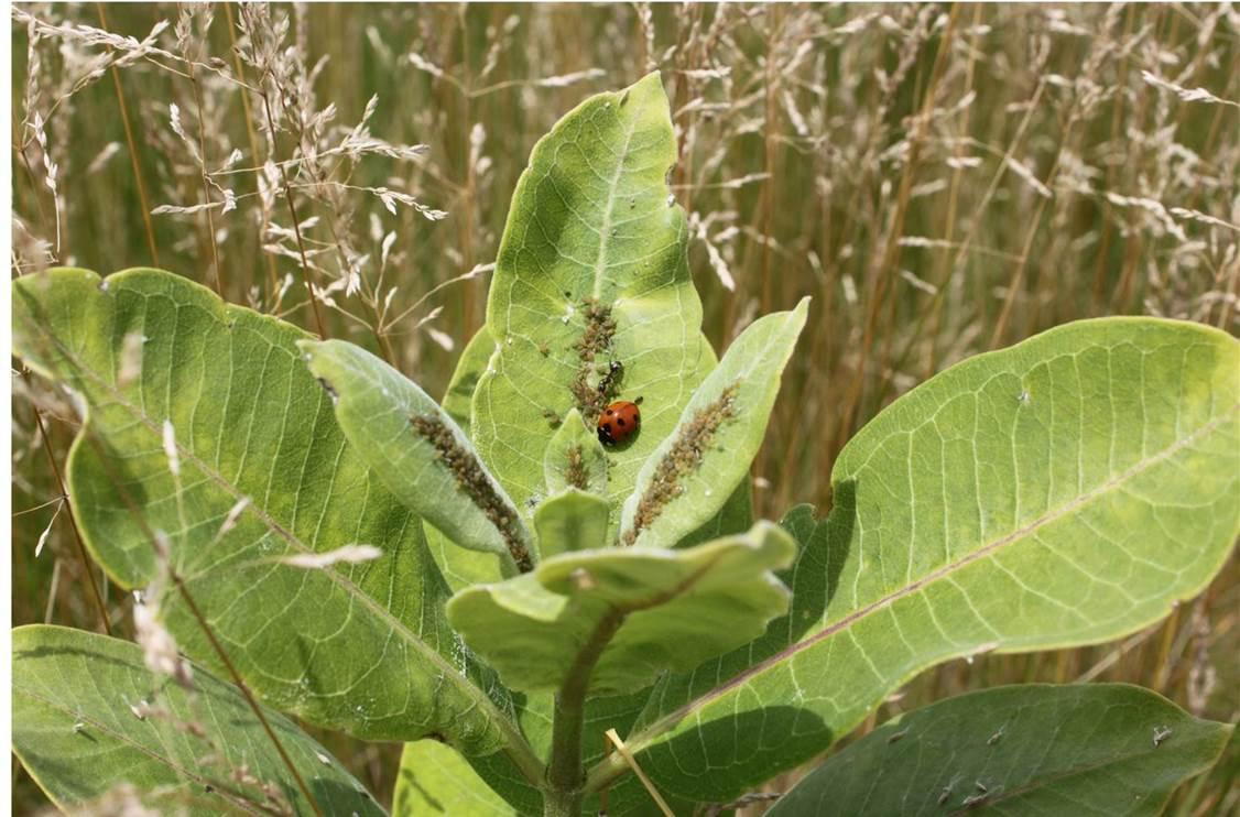 Ants on milkweed