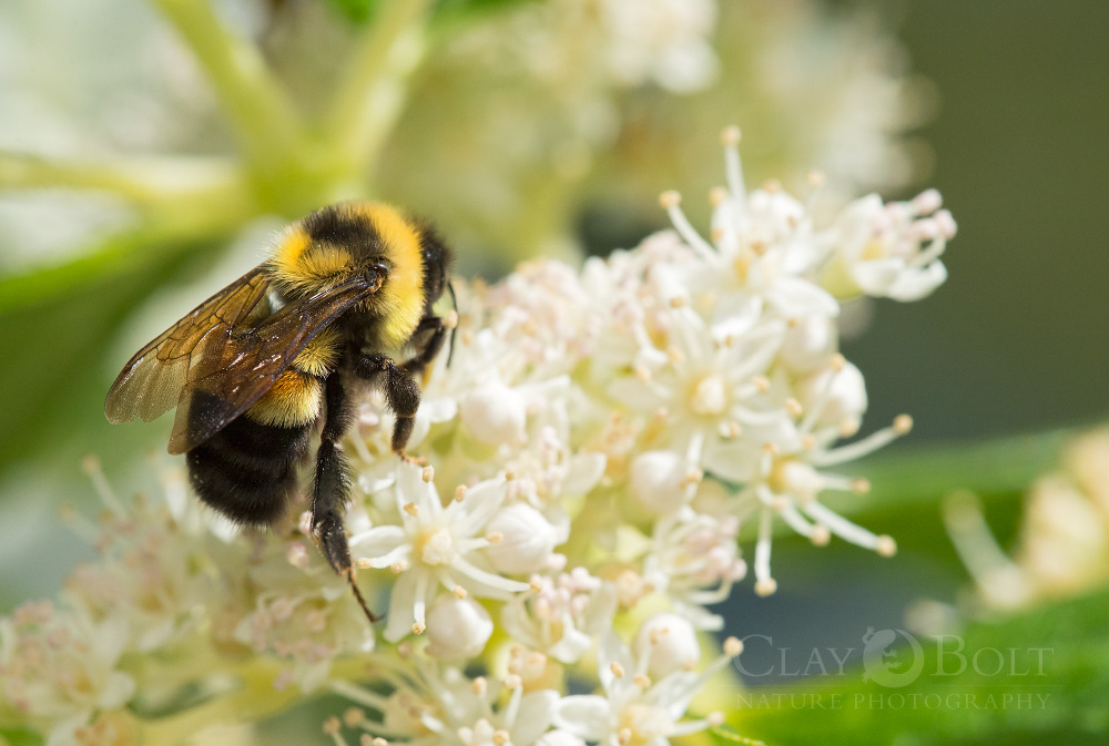 A Rusty-patched Bumble Bee (Bombus affinis) worker forages in a Madison, Wisconsin garden in late summer. Due to declines over the past 15 years this species is now one of the rarest bees in North America. © Clay Bolt | claybolt.com | beautifulbees.org