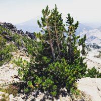 Whitebark pine on the slopes of South Sister, Oregon